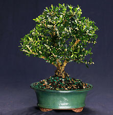 Harland Boxwood Bonsai Outdoor/Indoor Large Beginner Bonsai Tree Hb4812