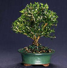 Harland Boxwood Bonsai Outdoor/Indoor Large Beginner Bonsai Tree HB4812
