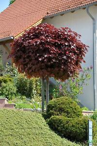 Acer platanoides Crimson Sentry Blut-Ahorn rotlaubig auf Stamm versch. Größen
