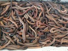 Kanadische Tauwürmer Angelwürmer Beutel 150 Stück