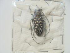 STELLOGNATHA maculata F A1(-) 31 mm