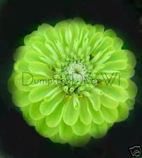 "ENVY Lime Green  ZINNIA  chartreuse 3-4"" blooms 20 seeds"