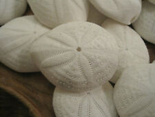 Puffy Sand Dollars (3) - Seashell Supply - Seashells - Sand Dollar - Crafts