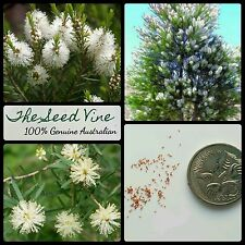 50+ MEDICINAL TEA TREE SEEDS (Melaleuca alternifolia) Essential Oil Native