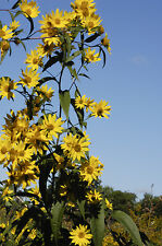 Helianthus grosseseratus - Saw-tooth Sunflower - 30 Fresh Seeds