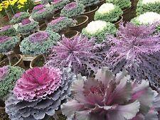 0.3g (env. .100) d'ornement chou semences rondes & franges feuilles floraison kale