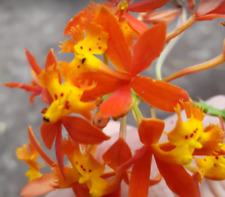 epidendrum-radicans-Cruci fix-Orchid-Easy-to-Grow-ra inbow-Wow-free-Usa-shippin g