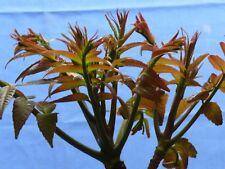 """2 live Chinese Toona Sinensis Trees 15""""-25"""" High山东红油香椿树mahogany daaraluu suren"""