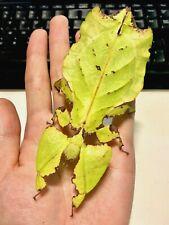 Giant Leaf Insect • (Pyllium giganteum), 10 EGGS - feeder food