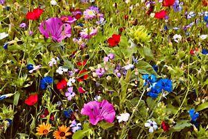 Bienenweide Mischung Insekten Bienen WIESE SOMMER-BLUMEN 🐝 +5000 Samen  >12qm