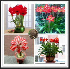 Amaryllis Red Hippeastrum Flowers Barbados Lily Balcony Plants Garden H 2 Bulbs