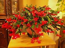 5 Red Thanksgiving Cactus Cuttings