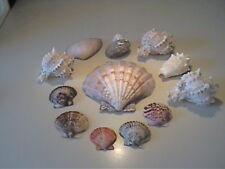 12 LARGE VINTAGE REAL SEA SHELL VARIETY LOT