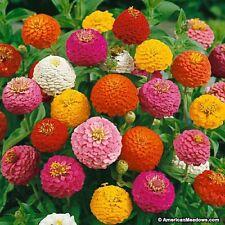 Zinnia Elegans Lilliput Mix Heirloom Flower Seeds- Approx. 200 Seeds or 2.88g