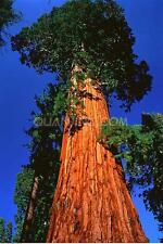 20 Giant Sequoia Seeds rare fast growing the most valuable tree species