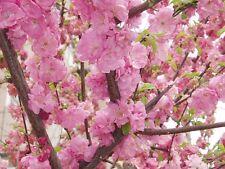 Prunus persica-PEACH 5 semi.