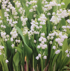 1x LILY OF THE VALLEY (CONVALLARIA) ROOT BULB/CORM PERENNIAL SPRING FLOWER PLANT