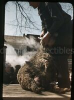 1950s red border kodachrome 35mm  Photo slide Sheep Shearing for wool