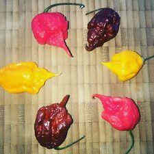 je 10  Carolina Reaper Rot, Gelb und Chocolate  Samen Weltrekord Chili