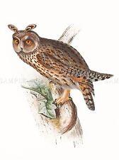 PAINTING BIRDS GOULD LONG EARED OWL ART PRINT POSTER LAH558A
