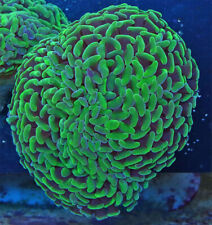 New listing Green Hulk Thick Branch Hammer Live Coral Wysiwyg