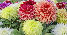 DAHLIA LARGE FLOWERS MIX 100 SEEDS, BLOOMS FAST FROM SEEDS, BIG FLOWERS, EZ