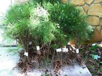QTY-10 EASTERN WHITE PINE TREE STARTER SEEDLINGS 22 INCH TALL REF#STX1