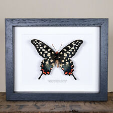 Madagascar Giant Swallowtail (Pharmacophagus antenor)  insect taxidermy