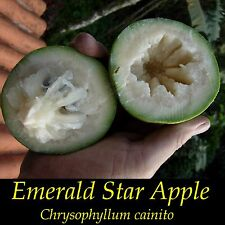 ~EMERALD STAR APPLE~ Chrysophyllum Cainito CAIMITO FRUIT TREE Small Potted PLANT