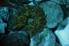 Neon Green Rhodactis Bounce Mushroom  WYSIWYG Live Coral Frag