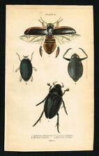 Diving & Water Scavenger Beetles, Insects, Hand-Colored Engraving, Jardine 1841