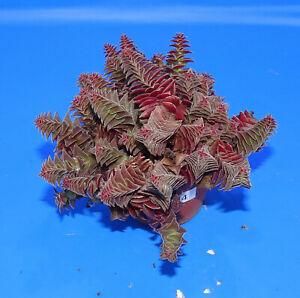 31034Crassula corymbulosa 'Red pagoda', phyto available