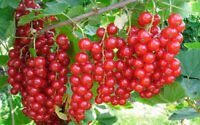 50PCs Seeds Red Currant Fruit Home Garden Fruit Yard Planting Plants Sweet Berry