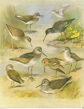 Red & Green Shanks, Snipe & Sandpipers - Large Bird Print by A Thorburn