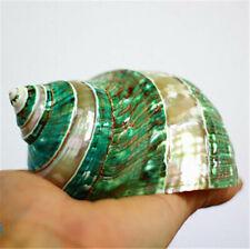 Natural Green Turban Shell 11 cm Glow In Dark Conch Shells DIY Ornament Decor