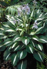 Hosta Risky Business ® medium growing Hosta garden plant