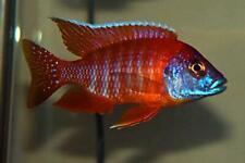 Live Red Peacock cichlid Alonocara jacobfreibergi for fish tank aquarium
