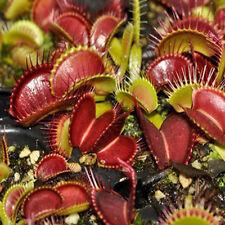 50pcs/ bag Venus Fly Trap Seeds, Dionaea Muscipula, Bonsai Carnivorous Plant