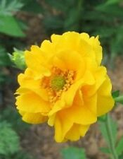 50+ EXTRA LARGE YELLOW LADY STRANTHEDEN GEUM FLOWER SEEDS/PERENNIAL