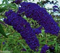 Buddleia Davidii Empire Blue Butterfly Bush Shrub Large Plug Plant