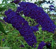 Buddleia Davidii Empire Blue Butterfly Bush Shrub Large Plug Plant