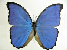 Blue Morpho - Morpho (Grasseia) didius   Schmetterling im Schaukasten aus Holz
