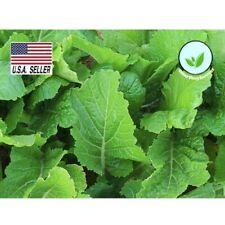 500++ Seeds FLORIDA BROADLEAF MUSTARD HEIRLOOM (non-gmo vegetable seeds)  USA !