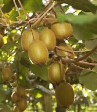 Bruno Kiwi, Actinidia Deliciosa 'Bruno', Cold HardyKiwi Fruit For Your Garden.
