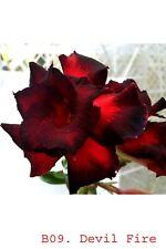 Succulent &cactus,Adenium obesum noB09 Devil fire ,desert rose usa free ship