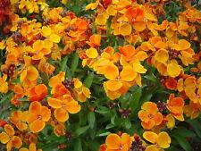 WALLFLOWER - **FRAGRANT** Orange Perennial - 50 seeds