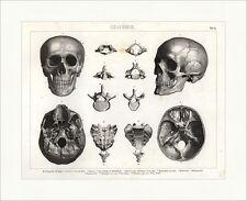 Knochengerüst des Kopfes Schädelbasis Wirbel Brockhaus Bilder Atlas Anatomie 02