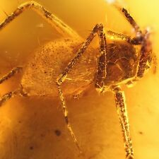 Große Spinne Insekt Inkluse Einschluss im Baltisch Bernstein +FREIES FOTO ir1