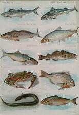 Fish Species - Mackeral, Cod, Herring, Crab Colour Vintage antique print, matted