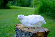 12 White Coturnix Quail Hatching Eggs Shipped In Foam For Protection